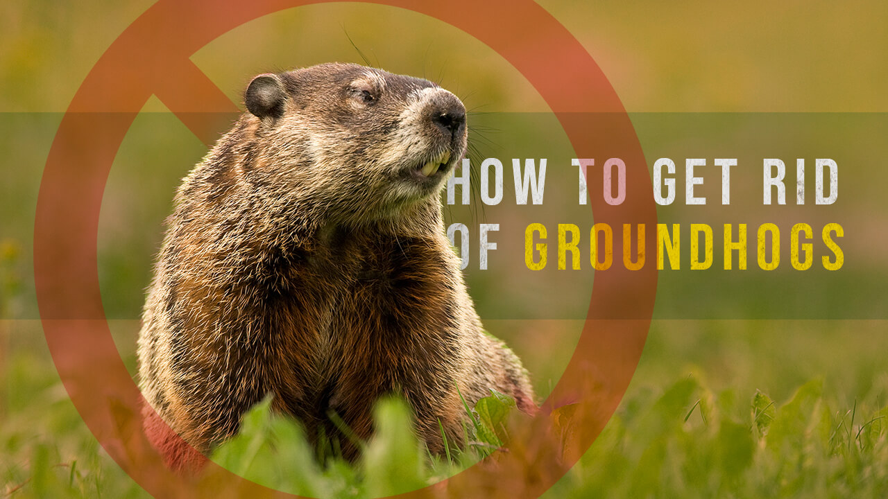 how to get rid of groundhogs - Best groundhog traps and repellents