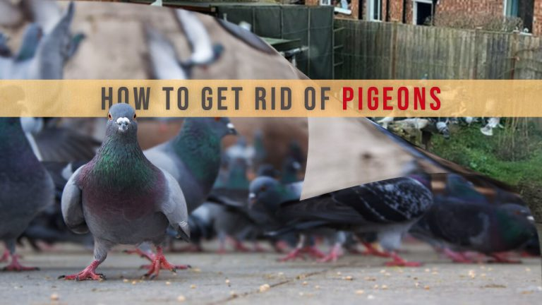 How to Get rid of Pigeons? Top 11 Best Pigeon Repellents