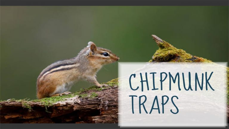 How to Get rid of Chipmunks | Top 7 Best Chipmunk Traps & Usage Guides