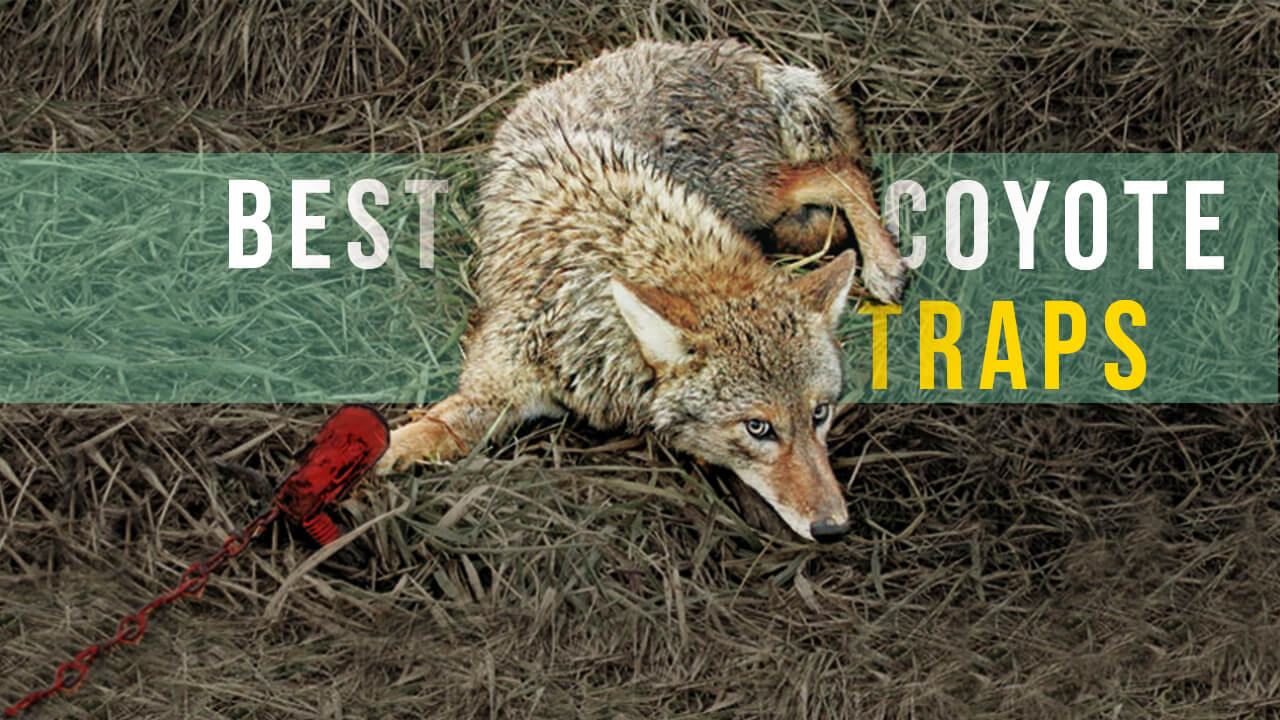 how to get rid of coyotes - best coyote traps