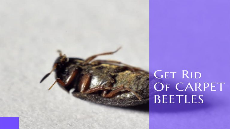 How to Get rid of Carpet Beetles | Top 5 Best Carpet Beetle Insecticides