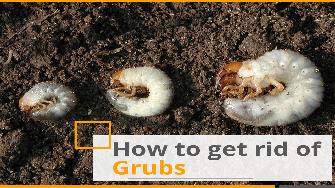 how to get rid of grubs - best lawn grub killer