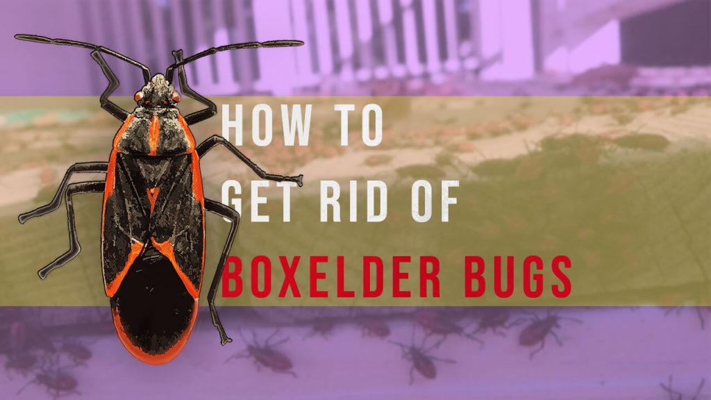 how to get rid of boxelder bugs