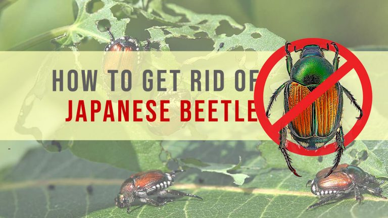 How to Get rid of Japanese Beetles | Top 7 Best Japanese Beetle Traps & Killers