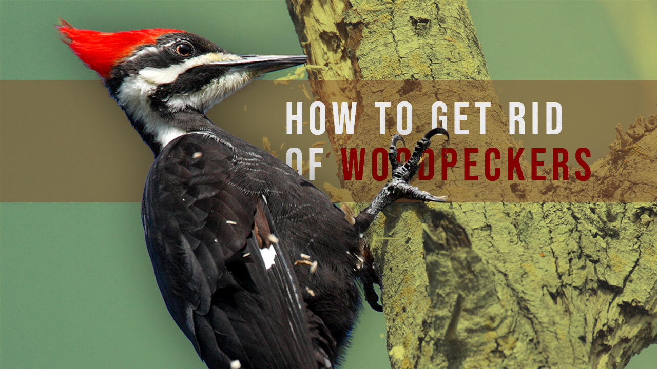 how to get rid of woodpeckers - best woodpecker repellent