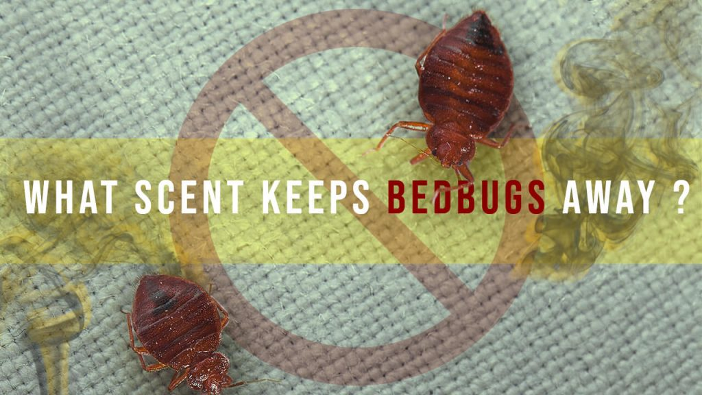 What smell does bed bugs hate
