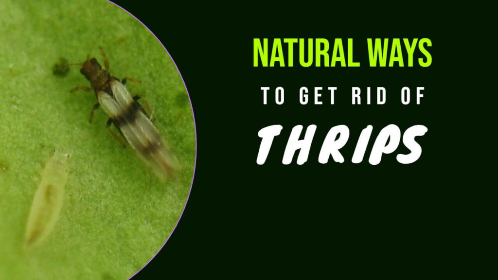 How to Get rid of Thrips Naturally