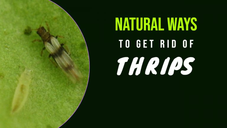11 Natural Ways to Get rid of Thrips Inside House, Pool, and On Houseplants