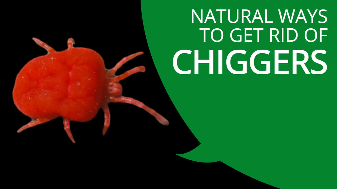 get rid of chiggers naturally