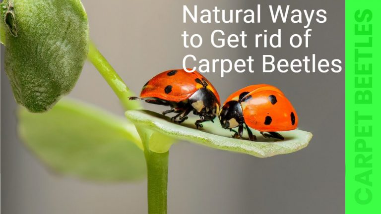 How to Get rid of Carpet Beetles Naturally | Prevent Carpet Beetles Infestation