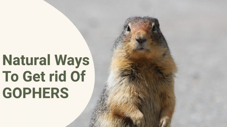 9 Ways to Get Rid of Pocket Gophers Naturally [Step by Step Process]