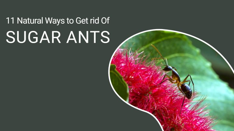 11 Effective Home Remedies Get Rid of Sugar Ants Naturally [Step by Step]