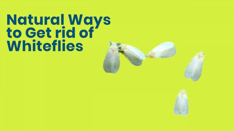 11 Home Remedies to Get rid of Whiteflies Naturally [Step by Step Process]