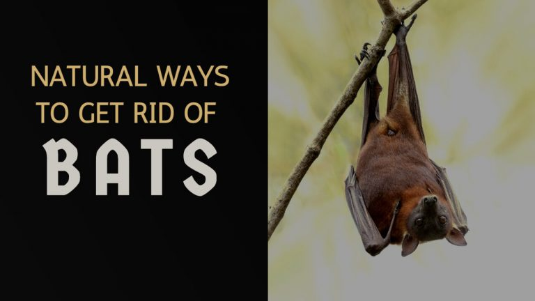13 Natural Ways & Home Remedies to Get rid of Bats [Step by Step]