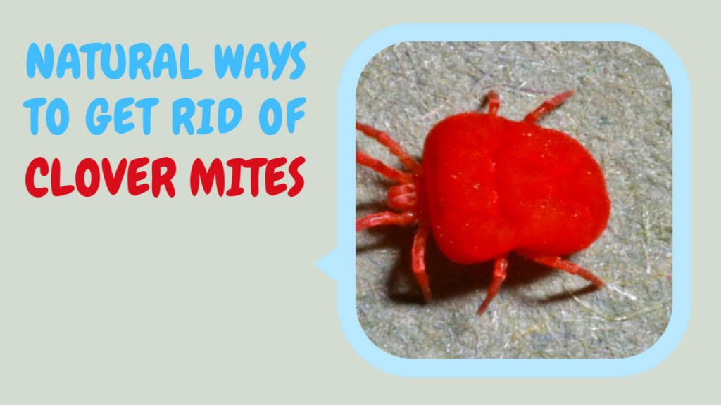 natural ways to get rid of clover mites