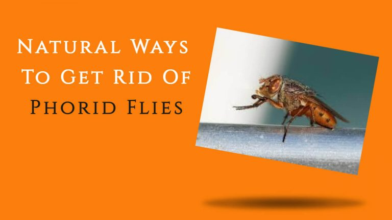 10 Ways Get Rid of Phorid Flies Naturally [Explained Step by Step]
