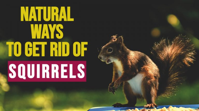9 Natural Ways to Get rid of Squirrels [Homemade Repellent Spray]