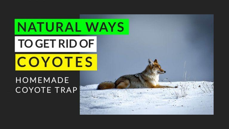 11 Natural Ways to Get rid of Coyotes [Homemade Coyote Traps]