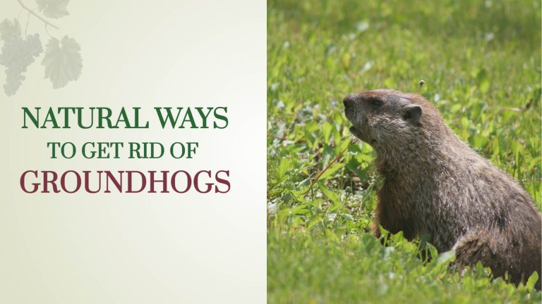 10 Natural Ways to Get rid of Groundhogs [Natural Methods to Prevent]