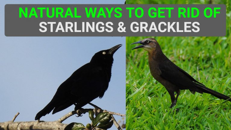 7 Natural Ways to Get rid of Starlings & Grackles [Step by Step]