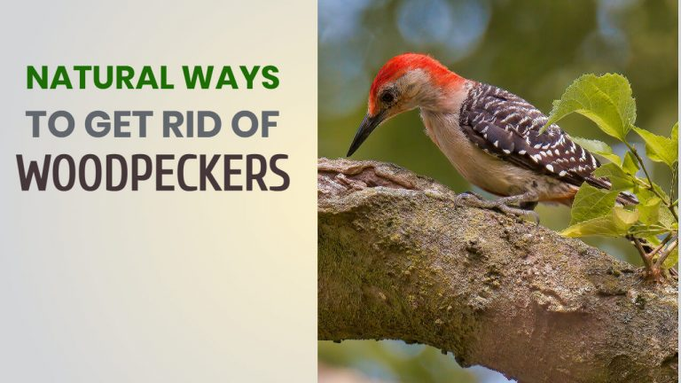 6 Natural Ways to Get rid of Woodpeckers [Homemade Woodpecker Deterrent]