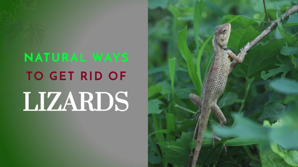 homemade natural ways to get rid of lizards