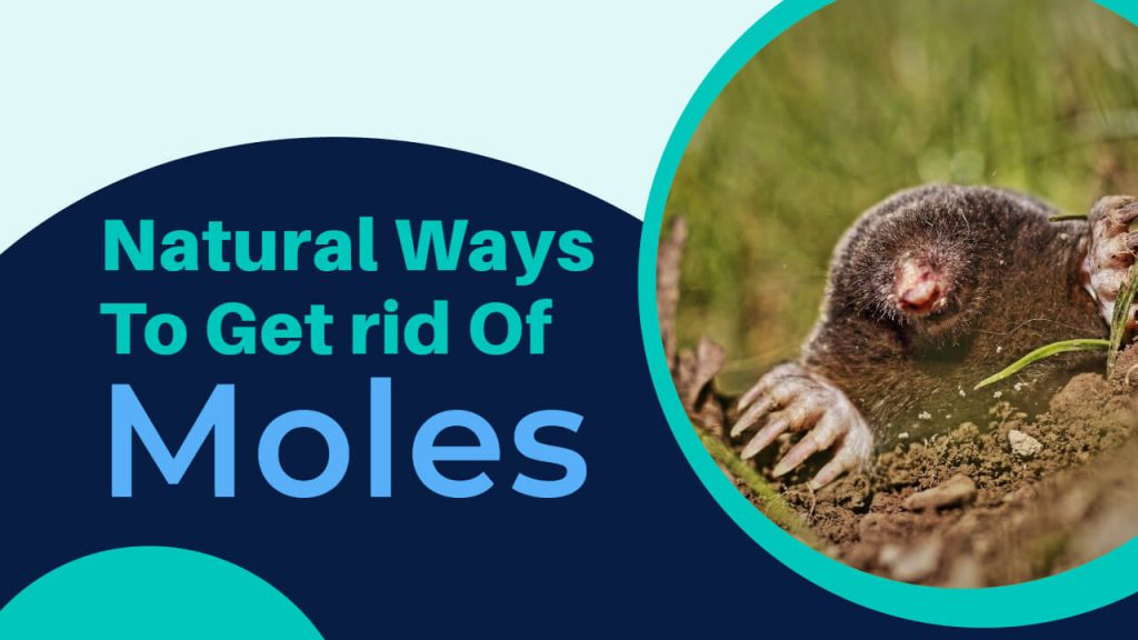 natural ways to get rid of moles from yard, garden, and home